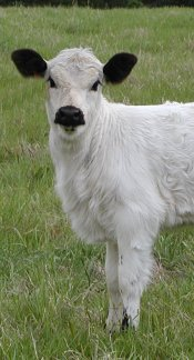 British White Calf
