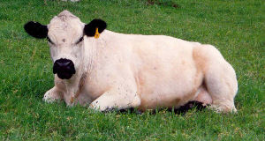 A well marked British White Cow