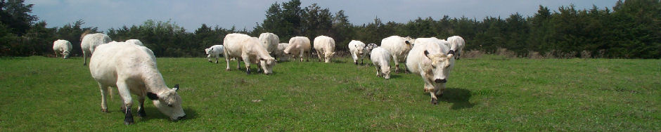 British White Cattle History herd Picture