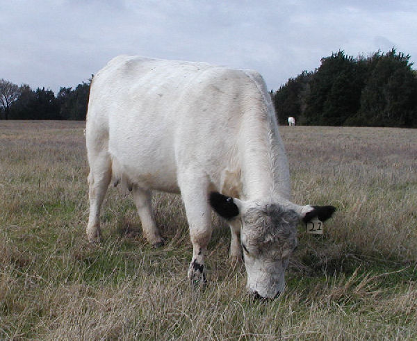 21 British White Cow