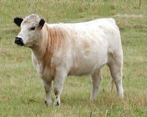 British White Cattle Videos may feature this Yearling Heifer.